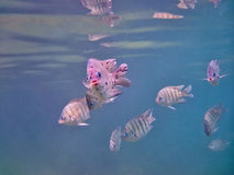 Sergeant Major damselfish Stock Images