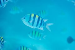 Sergeant Major fish Royalty Free Stock Image