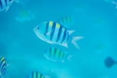 Sergeant Major fish Royalty Free Stock Image