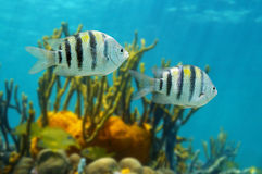 Sergeant major fish Abudefduf saxatilis Stock Image