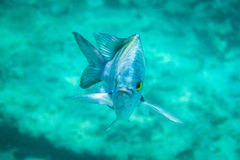 Sergeant major fish with an angry frown Stock Images