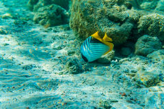 Sergeant Major fish in coral sea Royalty Free Stock Photos