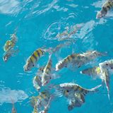 Sergeant major fish square. A school Sergeant major fish in a feeding frenzy all pooling at the surface near castries in st Lucia in the West Indies easter stock photo