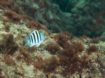 Sergeant Major fish swimming over a coral reef. Solitary fish on a reef in south Florida Royalty Free Stock Photos