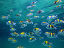 Sergeant-Major fishes Royalty Free Stock Photos