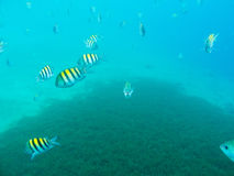Sergeant Major Fishes underwater Stock Images