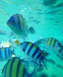Sergeant Major tropical fish Royalty Free Stock Image