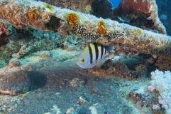 Sergeant mojor fish on a shipwreck Royalty Free Stock Photo