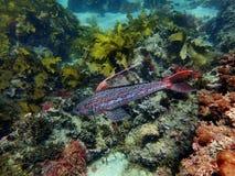 Sergeantbäckerfische in seiner ganzer Pracht Stockfotografie