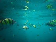 Sergeantfische im blauen thailändischen Meer nahe Ko Ngai, Ko Lanta, Thailand Stockfotos