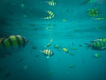 Sergeantvissen in het blauwe Thaise overzees dichtbij Ko Ngai, Ko Lanta, Thailand Stock Foto's