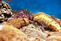 Sergente Maggiore reef Stock Photography
