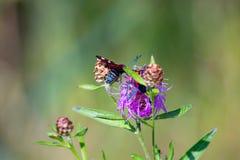Sergiev_posad parcs naturels de la région 2018 de Moscou Insectes sur l'herbe Insectes sur l'herbe Photo stock