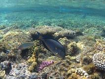 Sergion鱼,红海 免版税图库摄影