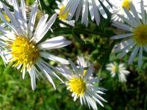 Seria Dziki kwiat Fotografia Stock