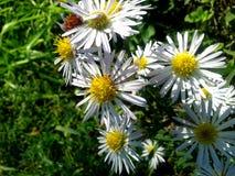 Seria Dziki kwiat Fotografia Royalty Free