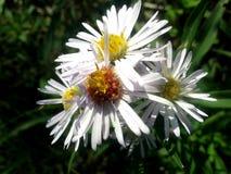 Seria Dziki kwiat Obrazy Royalty Free
