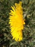 Seria Dziki kwiat Zdjęcia Royalty Free