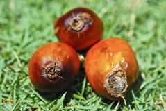 Serie 01 del seme della palma da olio Fotografie Stock
