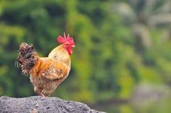 Serie 1 del gallo Fotografie Stock Libere da Diritti