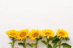 Serie av härliga solrosor Royaltyfri Foto