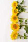 Serie av solrosor Royaltyfria Bilder