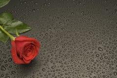Serie bagnata della Rosa Immagine Stock
