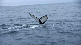 Serie da baleia de corcunda de Husavik Imagens de Stock Royalty Free