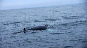 Serie da baleia de corcunda de Husavik fotografia de stock