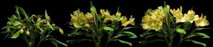 Serie de la flor del Alstroemeria Imagen de archivo