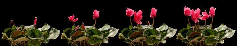 Serie de la flor del ciclamen Fotografía de archivo libre de regalías