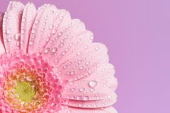 Serie de la flor rosada del gerbera foto de archivo libre de regalías