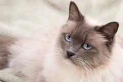 Serie de los gatos - ragdoll Imágenes de archivo libres de regalías