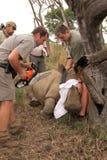 Serie 1 6: Dehorning nosorożec łydka póżniej darted Zdjęcia Royalty Free