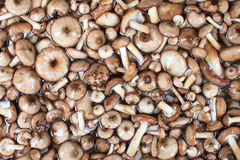Serie dei funghi: Honey Fungus Fotografia Stock Libera da Diritti
