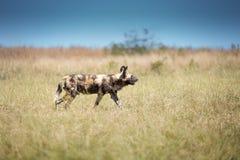 Serie del cane selvaggio Fotografie Stock