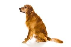 Serie del documentalista dorato (Canis immagine stock