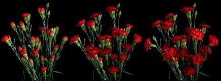 Serie del fiore del garofano Immagini Stock Libere da Diritti