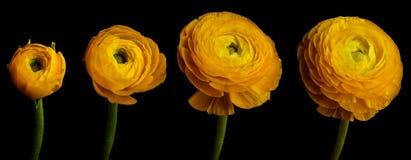 Serie del fiore del ranunculus Fotografia Stock Libera da Diritti