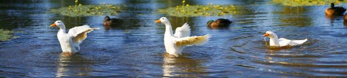 Serie del pato Foto de archivo libre de regalías