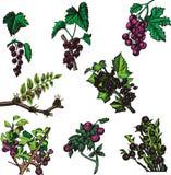Serie dell'illustrazione della frutta illustrazione di stock