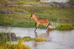 Serie 3 dell'incrocio di fiume di Waterbuck del maschio immagini stock