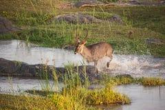 Serie 4 dell'incrocio di fiume di Waterbuck del maschio fotografie stock