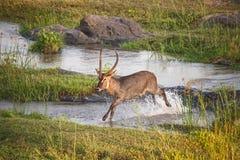 Serie 5 dell'incrocio di fiume di Waterbuck del maschio fotografie stock libere da diritti