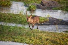 Serie 6 dell'incrocio di fiume di Waterbuck del maschio fotografia stock libera da diritti
