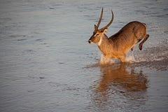 Serie 7 dell'incrocio di fiume di Waterbuck del maschio immagine stock