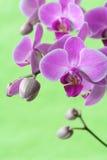 Serie dell'orchidea fotografia stock