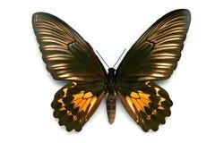 Serie della farfalla - bella farfalla rara Immagini Stock Libere da Diritti