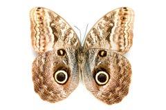 Serie della farfalla - bella farfalla rara Immagine Stock