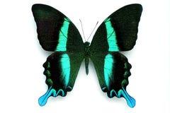 Serie della farfalla - bella farfalla rara Fotografie Stock